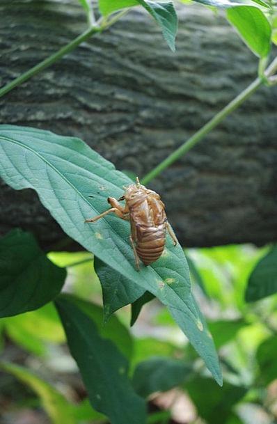 Cicada Instruction Small Cicada Macro Outdoor Cica