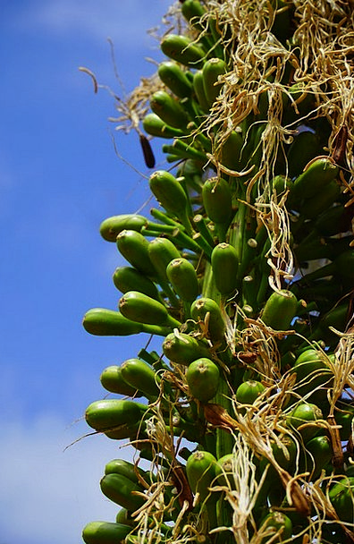 Dragon Tree-Agave Green Lime Inflorescence Agave A