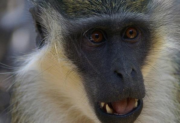 Monkey Ape Landscapes Countryside Nature Animals F