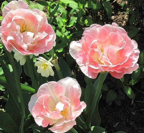 Roses Designs Landscapes Flushed Nature Garden Plo