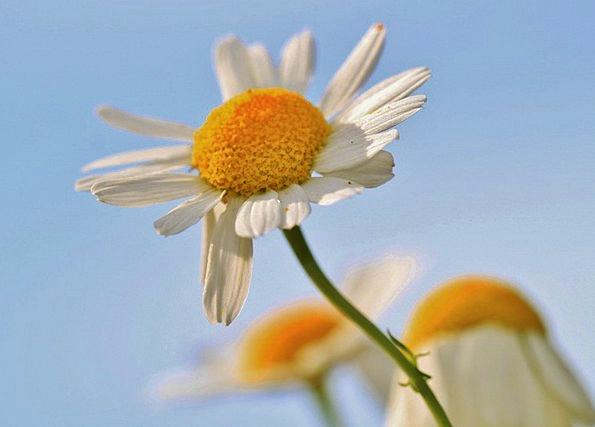 Chamomile Landscapes Nature Herbal Medicine Chamom
