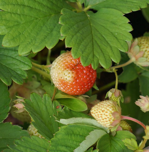 Strawberry Matures Develops Berry Raw Uncooked Sem