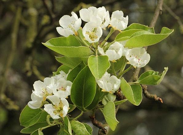 Pear Blossom Snowy Tender Loving White Spring Coil