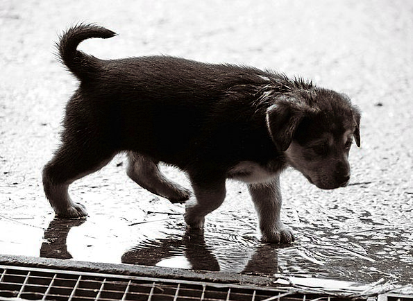 Puppy Brat Rainy Rain Volley Wet Dog Canine Small
