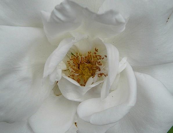Rose Bloom Design White Snowy Rose Fragrant Petals