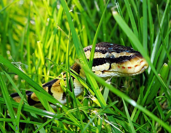 Snake Serpent Garden Plot Ball Python Camouflage C