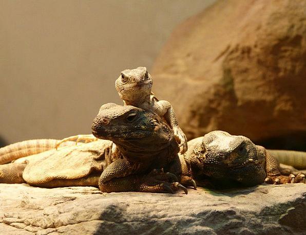 Lizards Animals Faunae Reptile Reptiles