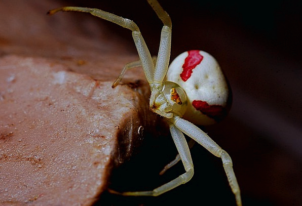 Crab Spider Arachnid Spider Fauna Macro Instructio