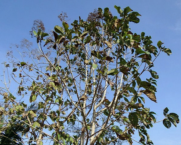 Teak Tree Deciduous Tectona Grandis Broad-Leaved T