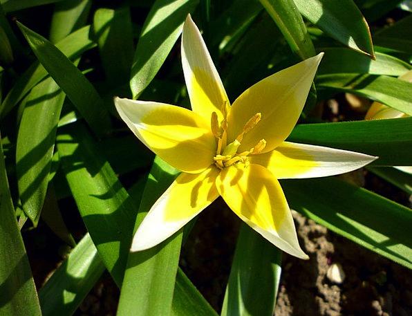 Jardin Des Plantes Tulip Two Color Sunlight Sunshi