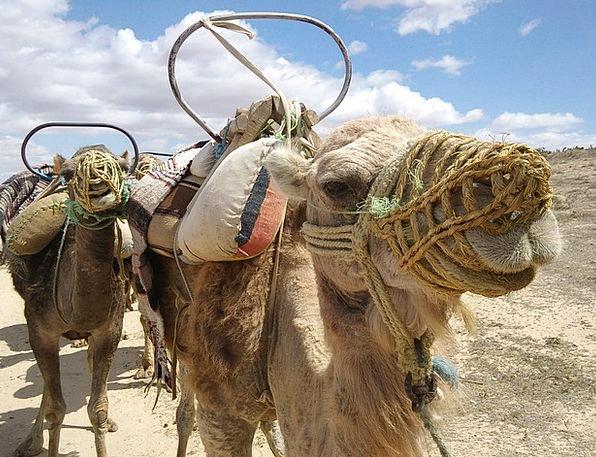 Camel Beige Skull Tunisia Head Animal Physical