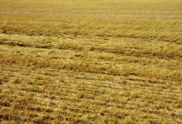 Stubble Growth Textures Arena Backgrounds Yellow C