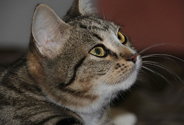Cat Feline Judgments Animals Faunae Eyes Cat Perso