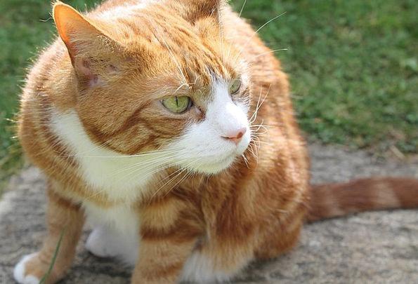 Ginger Cat Feline Sniffing Inhaling Cat Smelling S