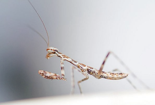 Praying Mantis Wildlife Nature Insect Outdoor Bug