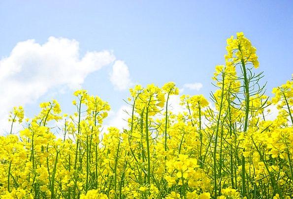 Rape Blossoms Landscapes Nature Oilseed Rape Inflo