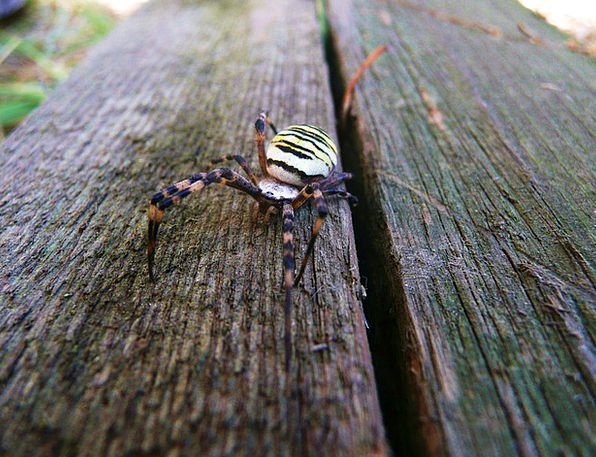 Spider Argiope Bruennichi Wasp Spider Animal Physi