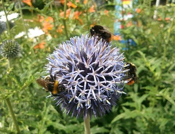Bumblebees Flower Floret Thistle Wild Rough Beauti