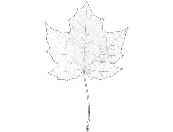 Maple Landscapes Nature Stem Stalk Leaf Sketch Dra