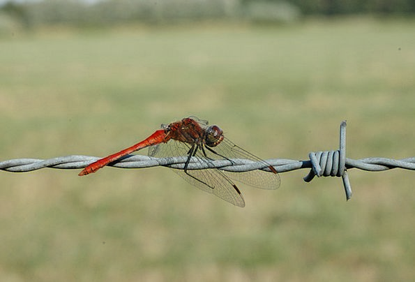 Ruddy Darter Macro Instruction Dragonfly Insect Bu