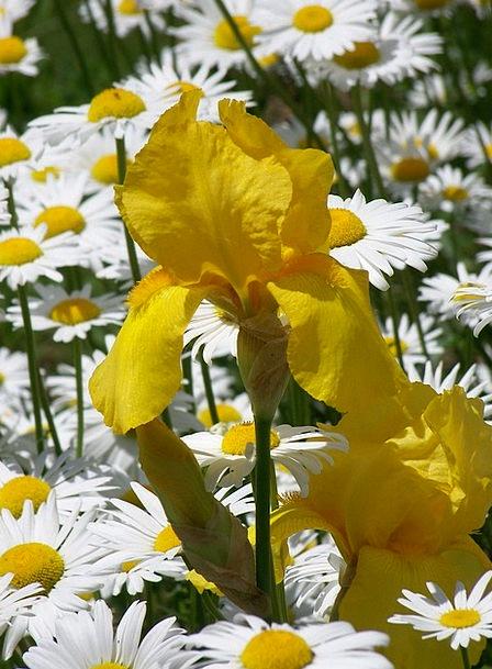 Yellow Creamy Daisy Iris Daisies Spring Flowers Co
