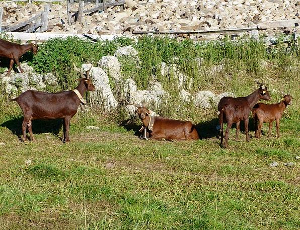 Animals Faunae Landscapes Nature Sheep Ewe Goats M
