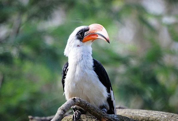 Hornbill Fowl Tropical Hot Bird Zoo Menagerie Bill
