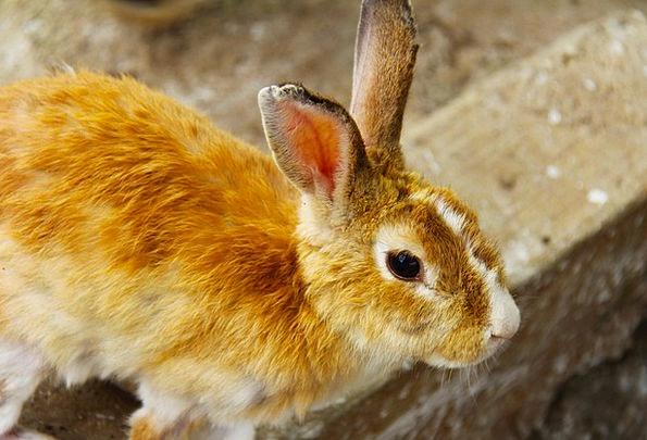 Rabbit Brown Chocolate Bunny Animal Physical Pet M