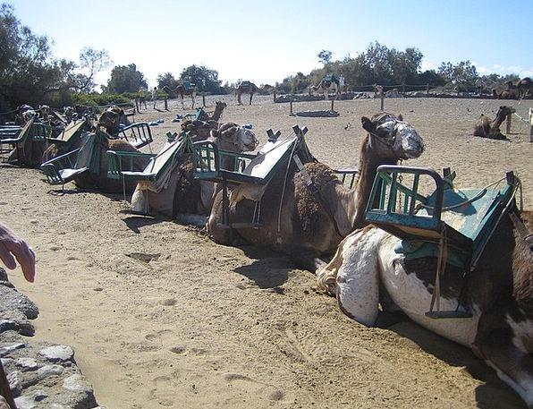Gran Canaria Landscapes Nature Camel Beige Camels