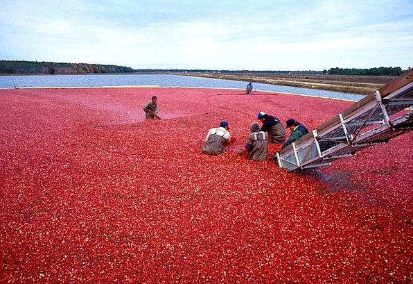 Cranberry Crimson Drink Food Cranberries Berries P