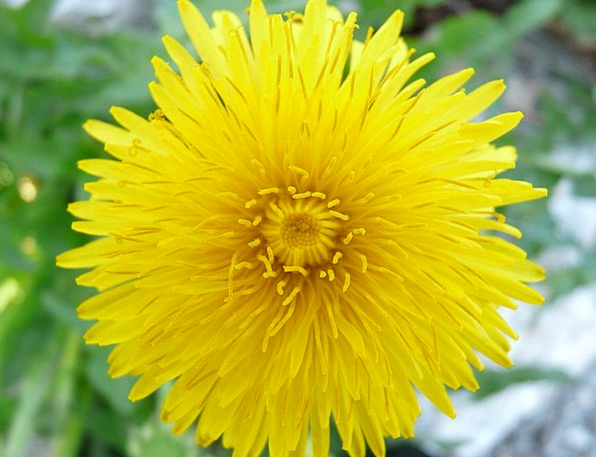 Dandelion Landscapes Floret Nature Plant Vegetable