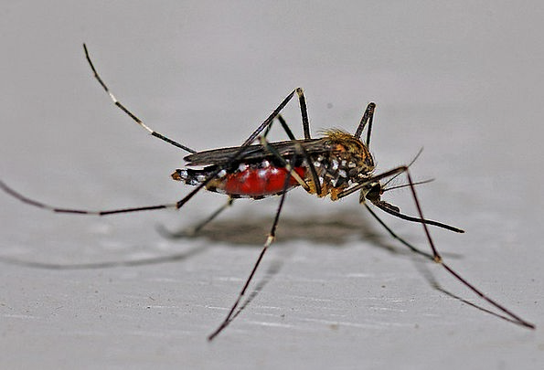Mosquito Leech Macro Instruction Insect Biology Ec