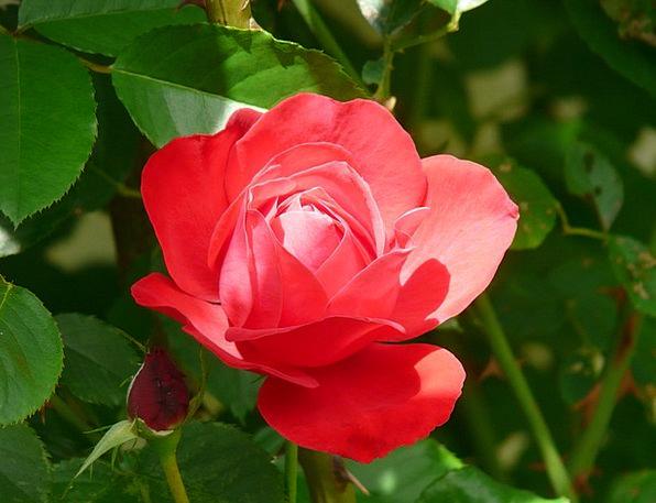 Rose Design Bloodshot Flower Floret Red Gorgeous L