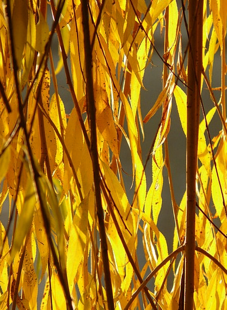 Willow Leaves Landscapes Greeneries Nature Silver