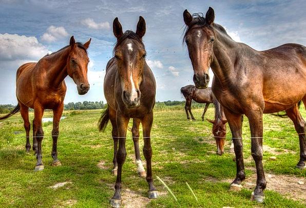 Horses Cattle Landscapes Link Nature Bremen Coupli