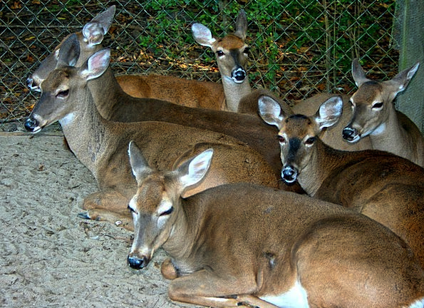 Deer Resting Latent Whitetail Animals Tame Domesti