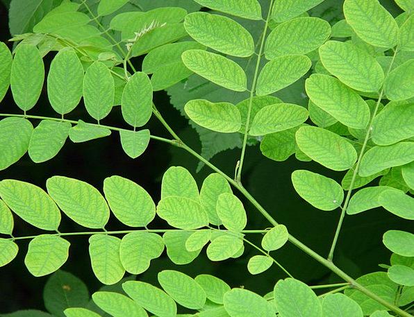 Common Maple Robinia Robinia Pseudoacacia False Ac
