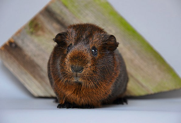 Guinea Pig Smooth Hair Gold Agouti Nager Young Ani