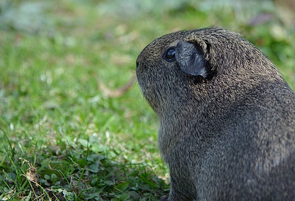 Guinea Pig Animal Physical Rodent Cute Attractive