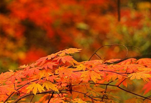 Red Maple Leaf Fall Autumn Leaves Autumn Wood Timb