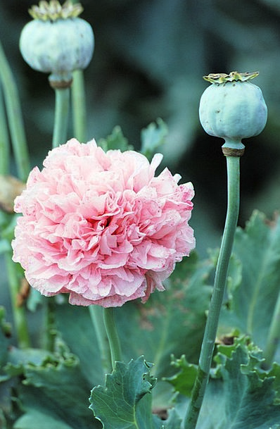 Poppy Floret Blooms Cultivated Flower Seed Heads