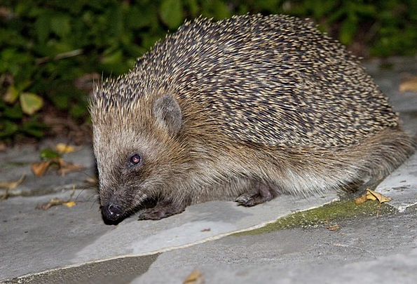 Hedgehog Spur Branch Erinaceus Europaeus Animal Ph