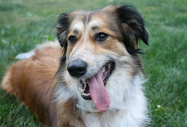 Australian Shepherd Golden Retriever Border Collie