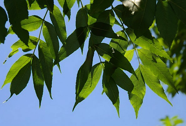 Leaves Greeneries Lime Tree Sapling Green Commerci