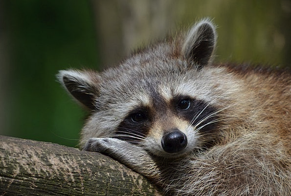 Raccoon Tolerate Zoo Menagerie Bear Saeugentier