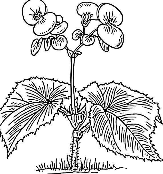 Begonia Landscapes Vegetable Nature Flowers Plants