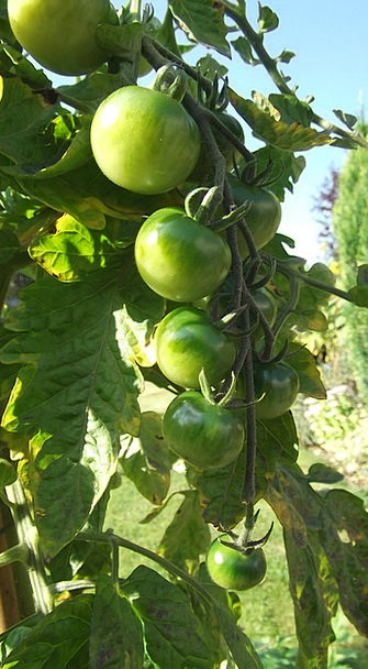 Green Tomatoes Allotment Share Sun