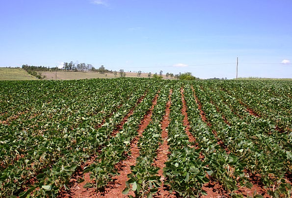 Planting Of Beans Drink Farming Food Beans Agricul