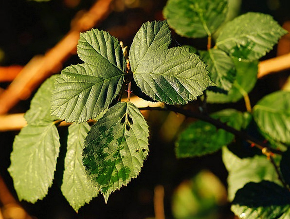 Blackberry Bush Landscapes Nature Spiny Barbed Lat