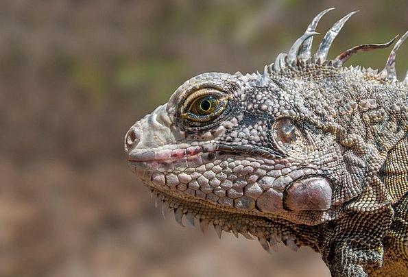 Iguana Wildlife Reptile Exotic Animal Physical Mar